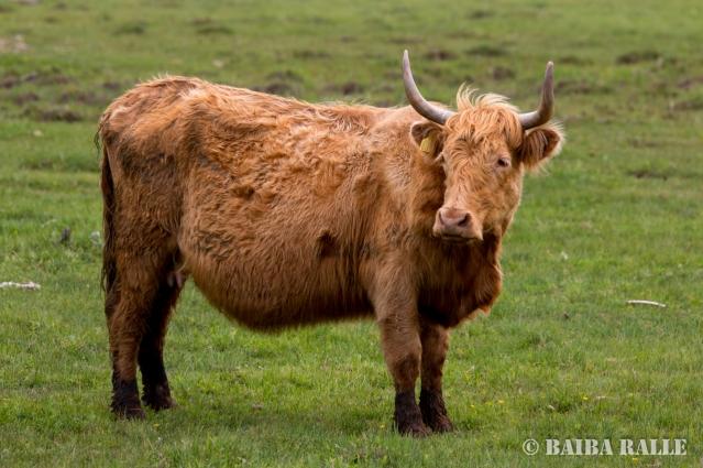 Savvaļas govs pļavu apsaimniekošanai