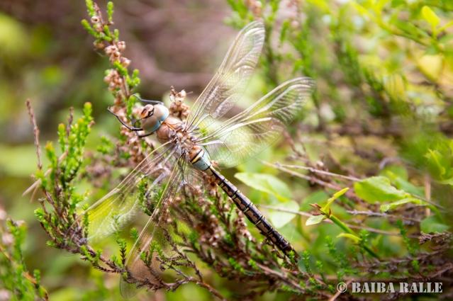 Spāre Engures ezera dabas parkā
