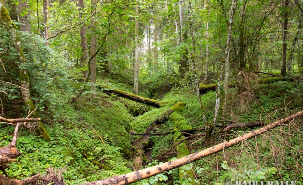 Vietējie Latvijas džungļi.