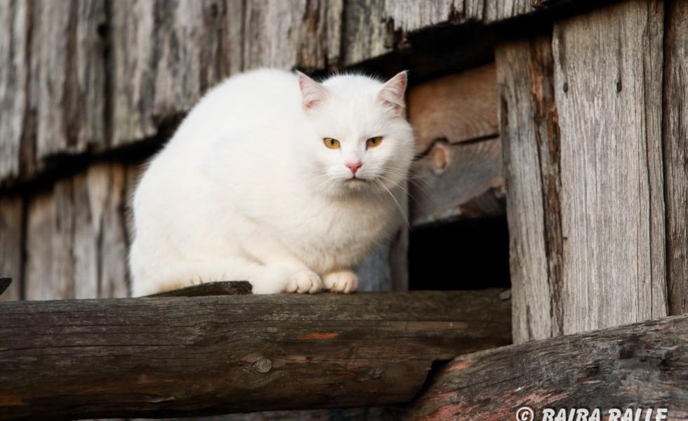Balts kaķis